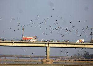 Black Kites in Lahore
