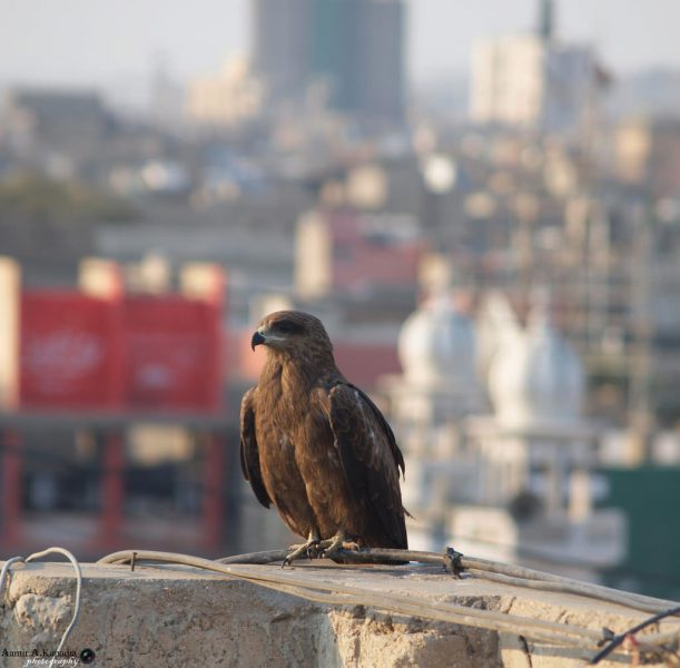 Black Kite in Lahore